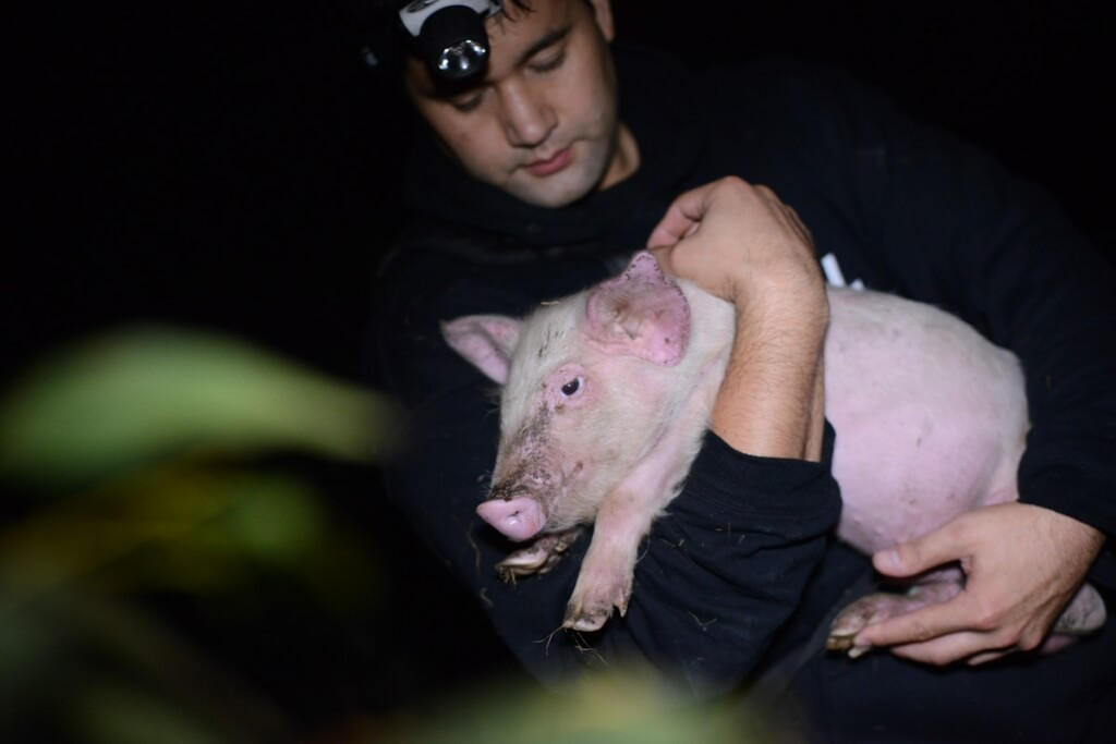 open rescue pig