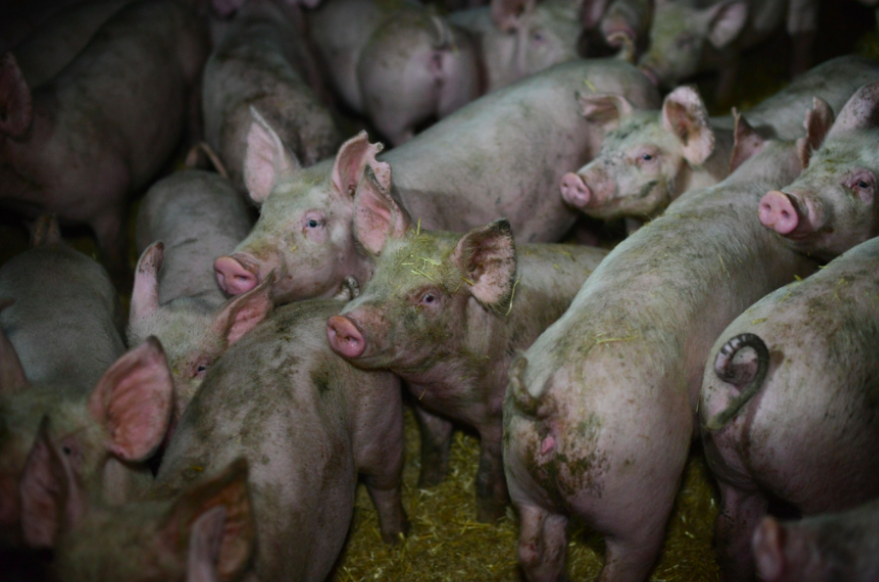 piglets separated from mothers on pig farms