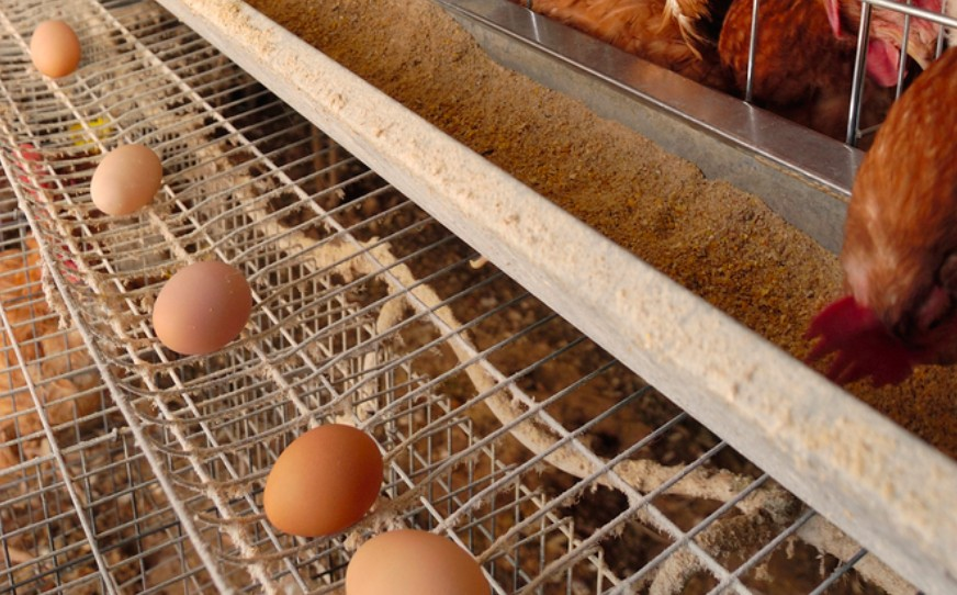 are eggs healthy for human consumption