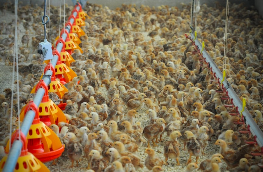egg farming and male chickens