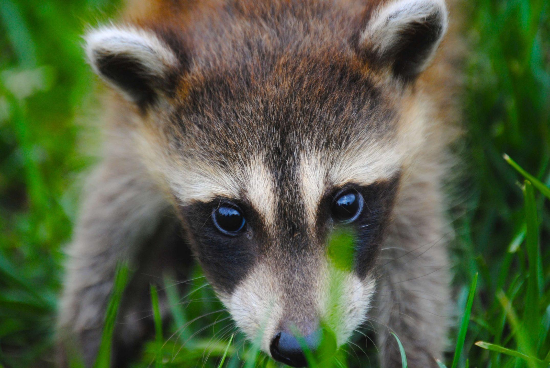 raccoon outside grass