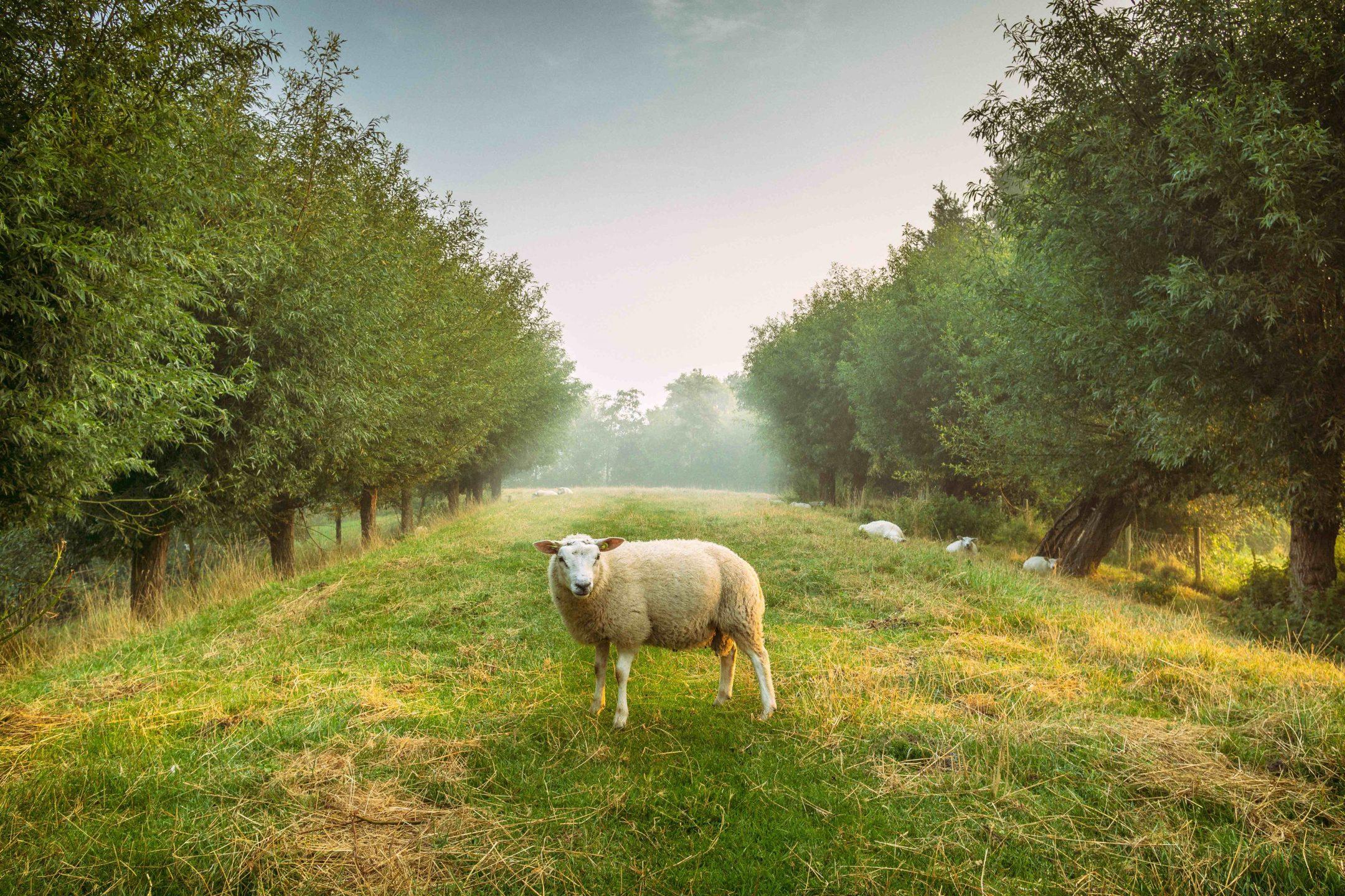 sheep animal nature