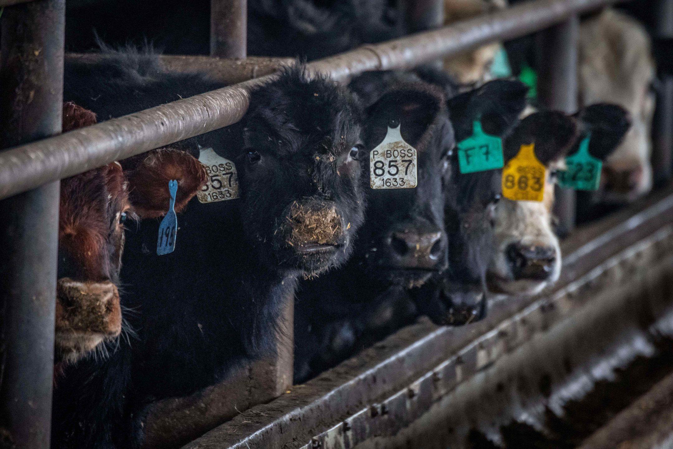 beef cow farm