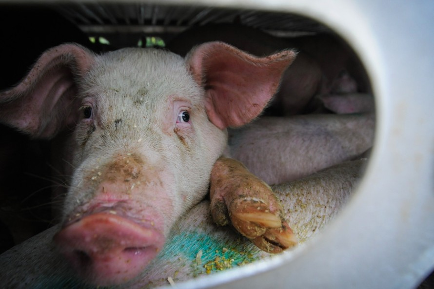 animal abuse at slaughterhouses