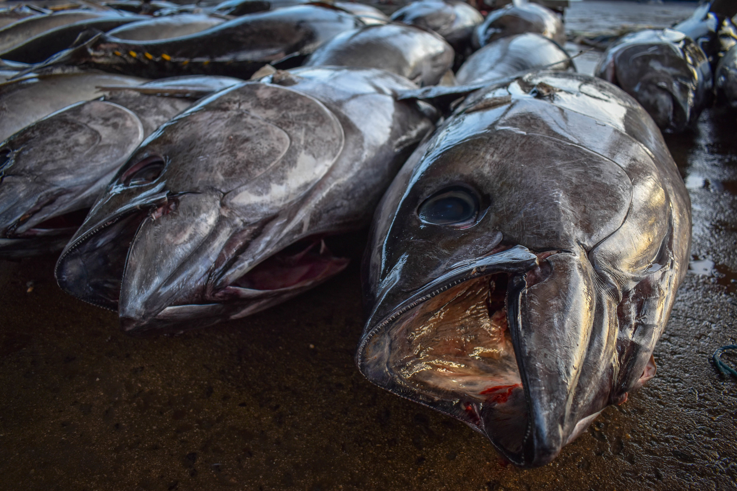 fish suffering