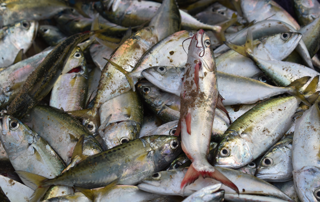 farmed fish are not healthy