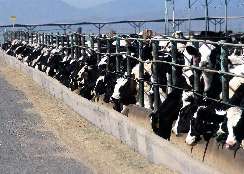 cattle-feedlot-868032_1280
