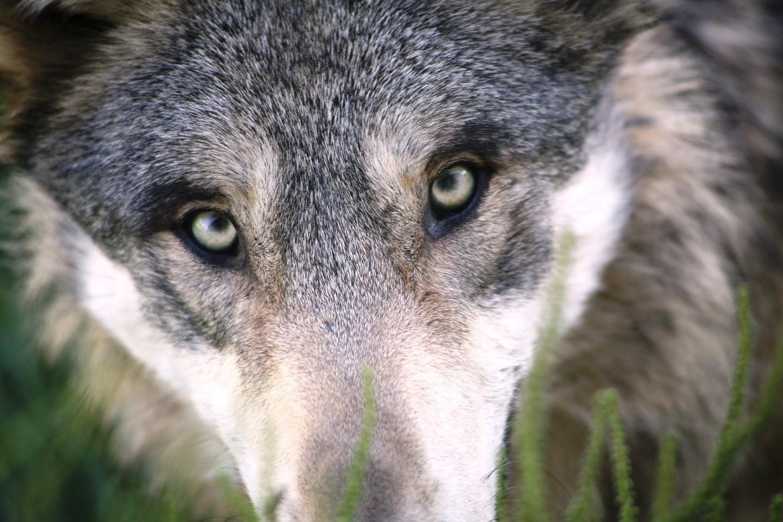 wolf-1284276_1920