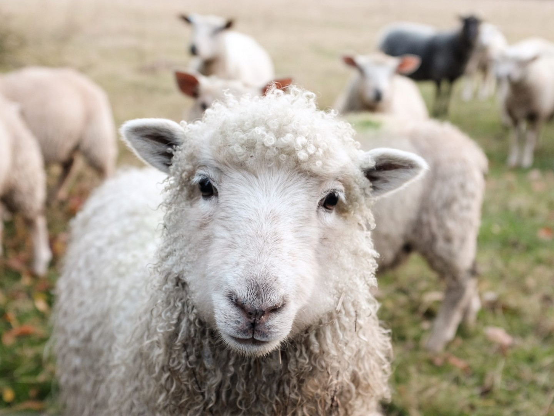 sheep-face