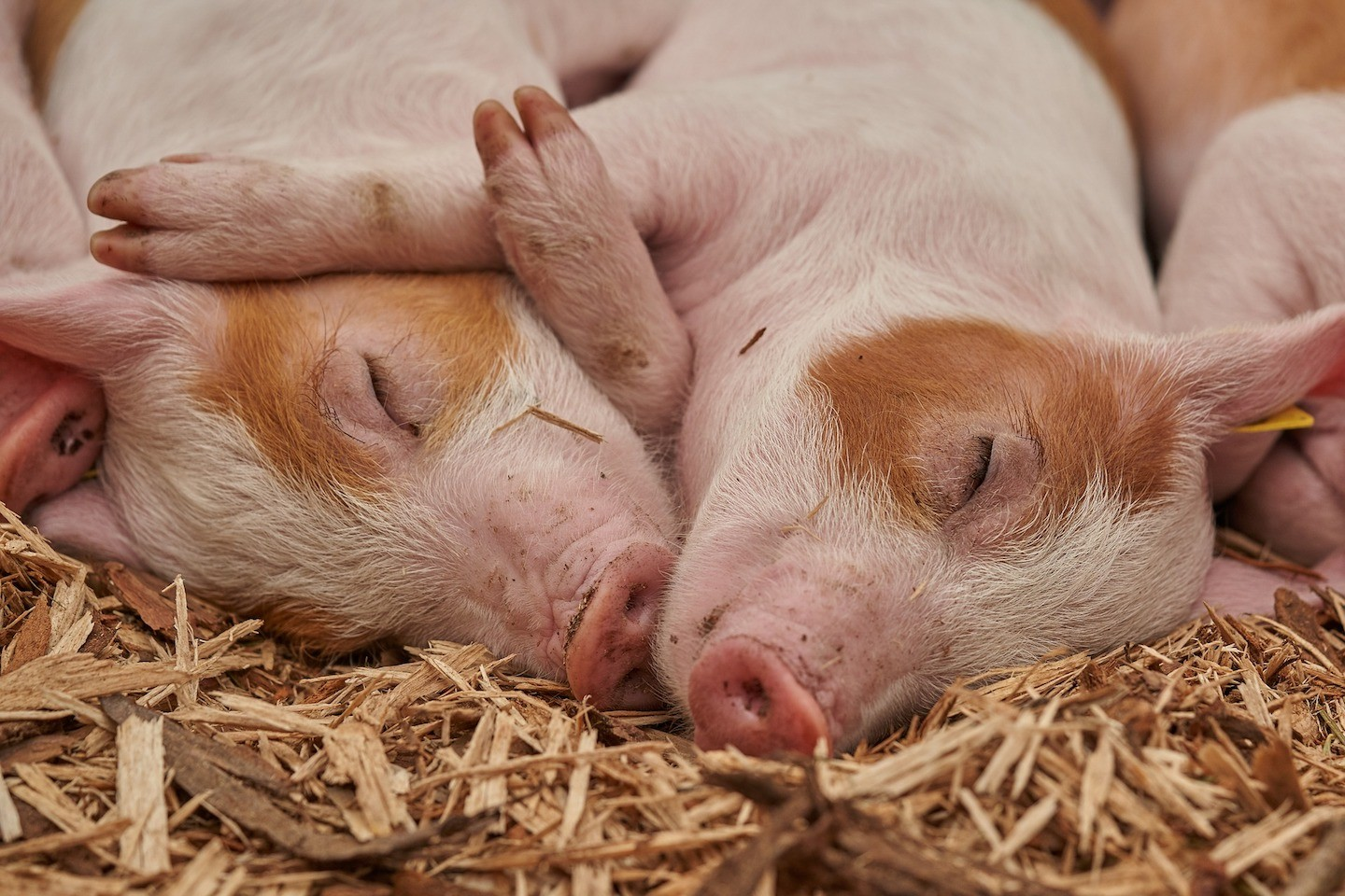 Piglets napping
